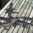 Alligators at zoo — Stock Photo #39409919