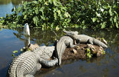 Alligators and egret in the wild — Stock Photo
