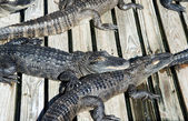 Alligators at the zoo — Stock Photo