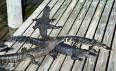 Alligators at the zoo — Stockfoto