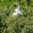 Great Egret in nature — Stock Photo #39505363