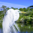 Great Egret in nature — Stock Photo