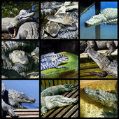 Alligator in the zoo, collage — 图库照片