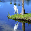 Great Egret. — Stock Photo #39555819