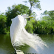 Great Egret. — Stock Photo #39556477