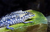 Newborn alligator in the zoo — Stock Photo