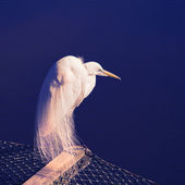 Great Egret. — Stock Photo