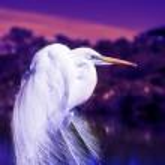 Great Egret. — Stock Photo
