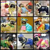 Collage of pugs toys. — Stock Photo