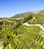 Trentino Italy, apple orchards — Stock Photo