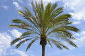 Top palm tree — Stock Photo
