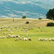 Herd of sheep in a green field — Stock Photo
