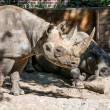 Two rhinos chilling in a zoo — Stock Photo