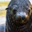 Wet sea lion close up  — Stock Photo