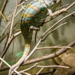 Striped chameleon on a branch — Stock Photo