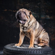 Shar pei dog breed sits on the wheel — Stock Photo