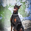 Dobermann dog sitting on a grungy background — Stock Photo