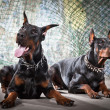 2 Doberman on a grunge background — Stock Photo