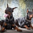 2 Doberman on a grunge background - Stock Photo