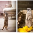 Meerkat in colors — Stock Photo