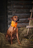 Red dog in the hayloft — Stock Photo