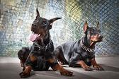 2 猎狗 grunge 背景上 — 图库照片