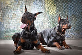 2 Doberman on a grunge background — Stockfoto