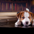 Puppy with books. Puppy in bibleotek. Jack Russell Terrier — Stock Photo