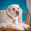 Dog, Labrador in the interior — Stock Photo