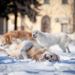 Labrador retriever outdoors, in the snow — Stock Photo