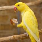 Yellow parrot — Stock Photo #34103727