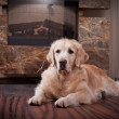 Golden Retriever, home, interior, beautiful — Stock Photo #34103835