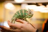 Lizard, hand, chameleon — Foto de Stock