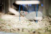 Rat cage, sawdust, game — Foto de Stock