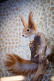 Squirrel, red, sitting in a tree — Stockfoto