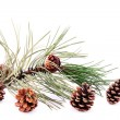 Stock Photo: Pine branch with cone