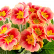 Primula — Stock Photo #21838923