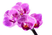 Orchid in flowerpot — Stock Photo