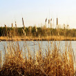 Fancsika lake with reeds — Stock Photo