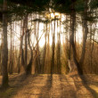 Pine forest with sunbeams — Stock Photo