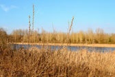 Fancsika lake with reeds — Stock Photo