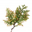 Thuja twig isolated — Stock Photo