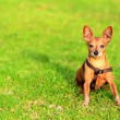 Stock Photo: Miniature pinscher dog sitting in grass
