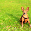 Miniature pinscher dog sitting in the grass — Stock Photo