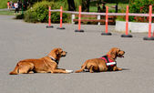 Two dogs rest in the asphalt — Stock Photo