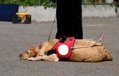 собака-поводырь отдыхает — Стоковое фото