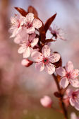 Beautiful cherry tree flower in the spring — Foto de Stock
