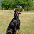 Doberman Pinscher on a meadow — Stock Photo