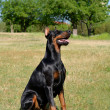 Doberman Pinscher on a meadow - Stock Photo