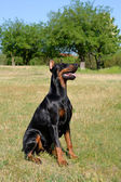 Doberman Pinscher on a meadow — Stok fotoğraf